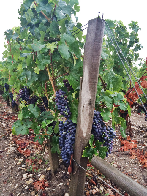 Grapevines in Pauillac, France